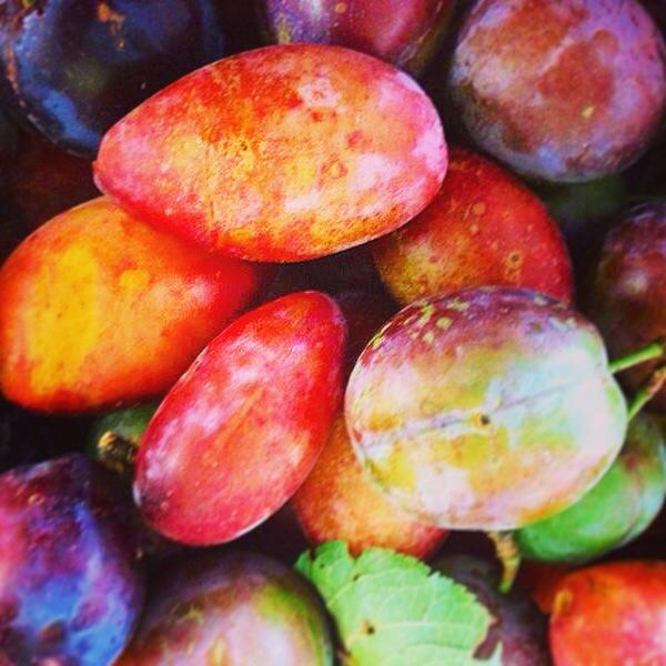Organic hand picked plums donated from a customer